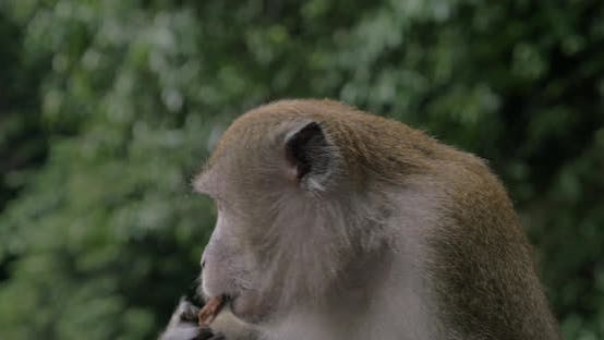 Thumbnail for Close Up View of Macaque at Batu Caves on Blurred Green Background. Gombak, Selangor, Malaysia