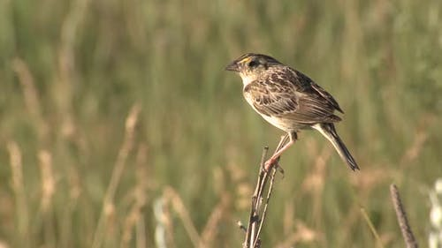 Grasshopper Sparrow Songbird Calling Singing Song in Great Plains Prairie Summer