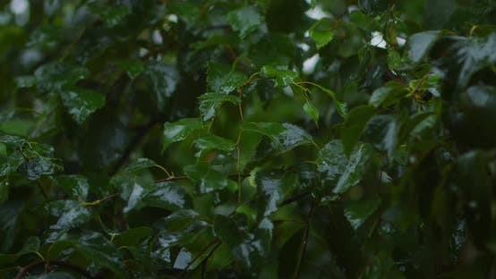Thumbnail for Rain on the Leaves of the Birch