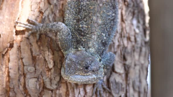 Thumbnail for Close up from a southern tree agama