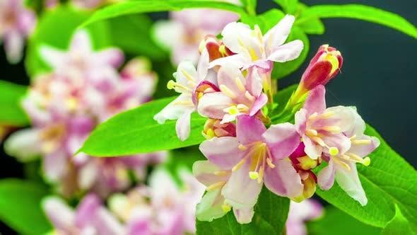 Thumbnail for Weigela Florida Flower 4