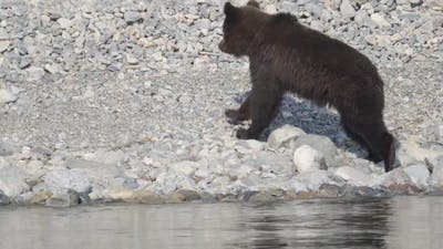 European Brown Bear Catching Food and Running Away