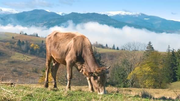 Farm cow grazing on alpine pasture meadow in summer mountains