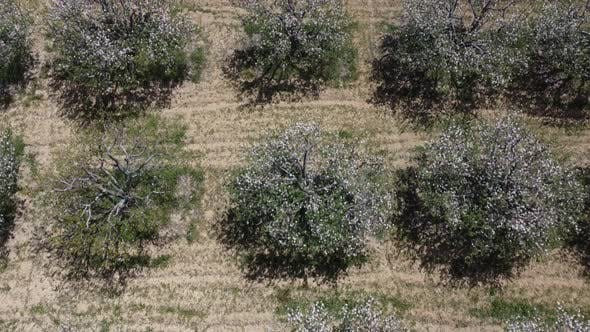 Drone Image of White Flowers of Apple Trees