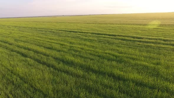 Thumbnail for Aerial of the Beautiful Green Wheat Field with Waving Spikelets at Sunset
