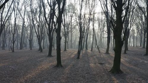 Passing Through Scary Mysterious Foggy Forest. Trees Surrounded in Mist and Fog. Aerial Gimbal Drone