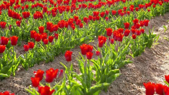Thumbnail for Tulips on Agruiculture Field Holland