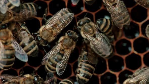 Thumbnail for Bees Swarming on Honeycomb, Extreme Macro Footage. Insects Working in Wooden Beehive, Collecting