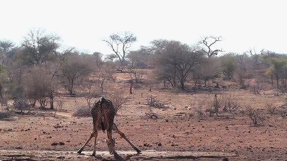 Thumbnail for Giraffe in Kruger National park, South Africa