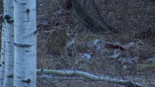 Mountain Lion Immature Lone Alarmed Nervous Wary in Winter Cache Carcass