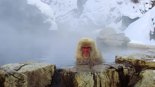 Thumbnail for Japanese Macaque or Snow Monkey in Hot Spring