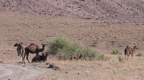 Herd of dromedary camels around a bush
