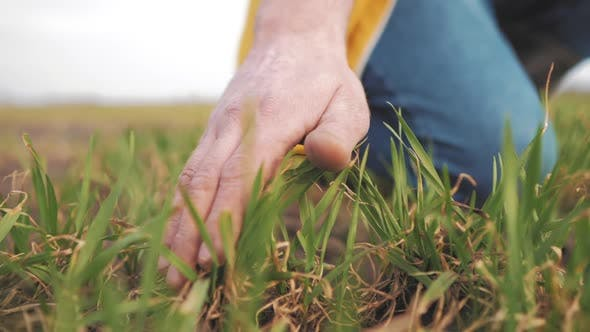 Farmer Hand Touches Green Wheat Crop Germ Agriculture Industry