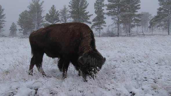 Thumbnail for Bison Bull Adult Lone Foraging Looking For Food in Winter Snow Cloudy Fog