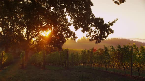 Sun shines through oak tree in vineyard at sunrise, Oregon. Shot on RED EPIC for high quality 4K, UH