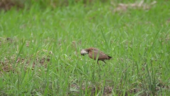 African jacana in Bao Bolong Wetland Reserve