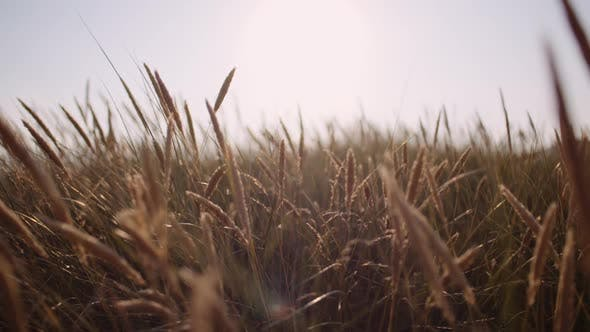 Thumbnail for Long Grass Wavying on Wind at Sunset