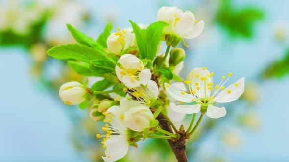Cover Image for Wild Plum Flower on Blue 1