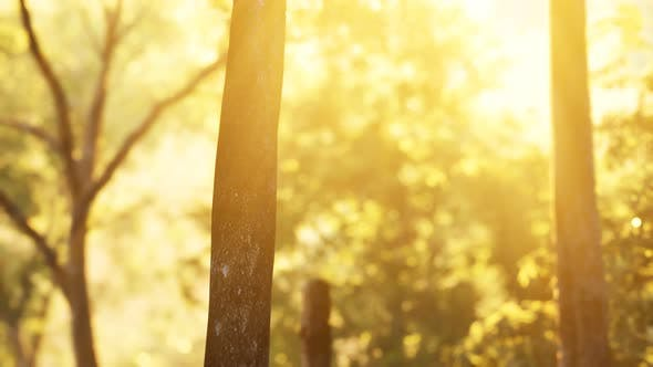 Cover Image for Sunbeams Pour Through Trees in Misty Forest