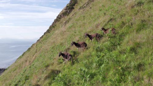 Wild Soay Sheep Grazing on the Side of a Grassy Mountain