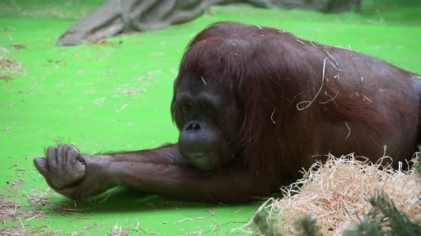 Female Orangutan Monkey, Portrait, Close Up.