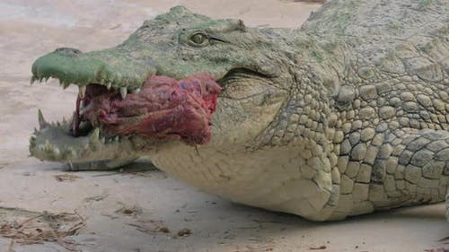 Crocodile with Meat in Its Mighty Jaws