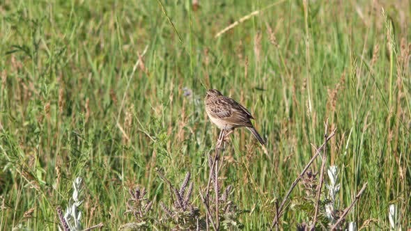 Grasshopper Sparrow Bird Calling Communicating Singing Song in South Dakota in Summer