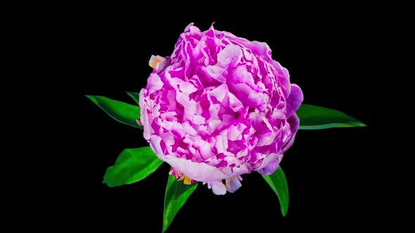 Thumbnail for The peony flower is blossoming