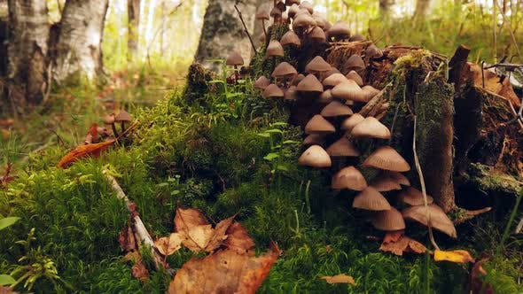 Forest Toadstool Mushrooms Grow on a Rotten Stump