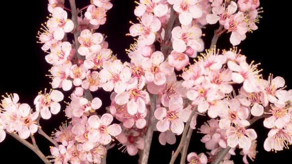 Cover Image for Pink Flowers Blossoms on the Branches Cherry Tree