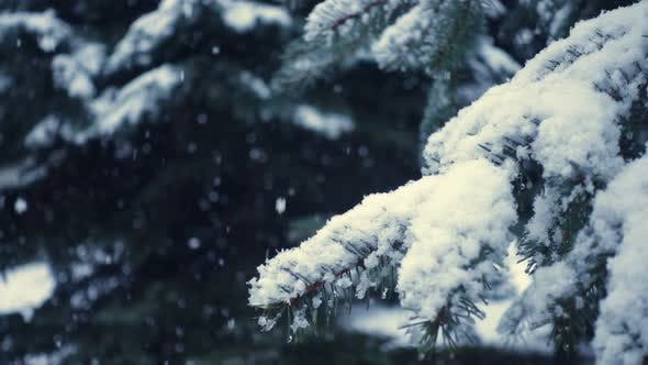 Thumbnail for Snow Falling At The Fir Trees Branches