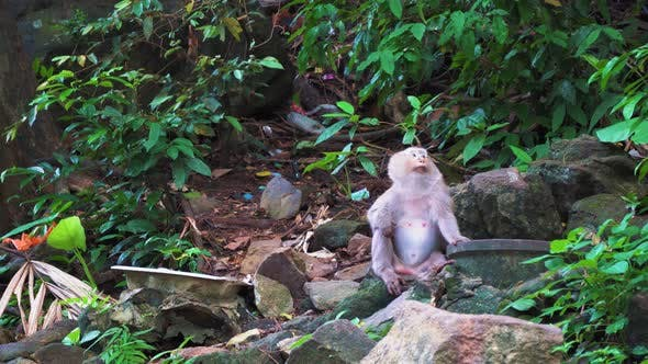 Thumbnail for The Monkey Sits on The Rocks in The Rainforest and Looks Around