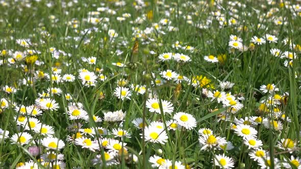 Thumbnail for Daisies Bloom on Field on Summer Day in Green Grass