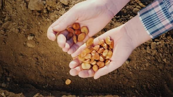 Thumbnail for Bauernhände halten eine Handvoll Hülsenfrüchte über dem Boden