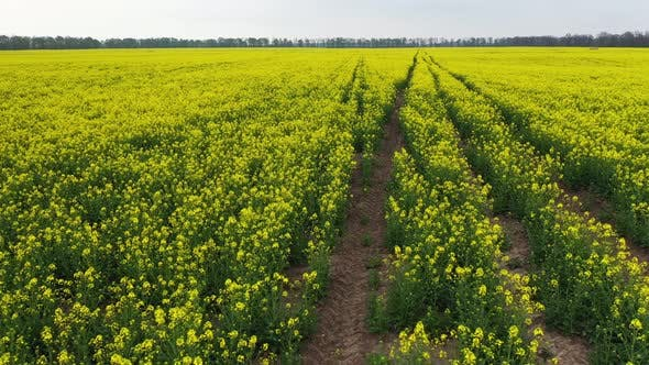 Thumbnail for Bright Yellow Canola Flowers Field in an Amazing Cloudy Day