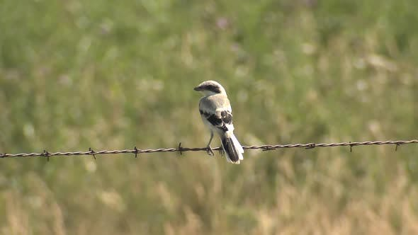 Thumbnail for Loggerhead Shrike Bird Perched Looking Around Summer on Fence Wire or Barbwire