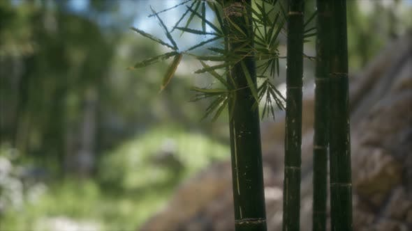 Thumbnail for Green Bamboo Trees Forest Background