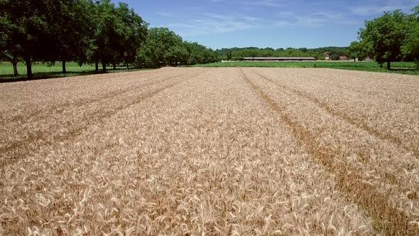 Thumbnail for Tracking Luftaufnahme von Weizen Landwirtschaft.