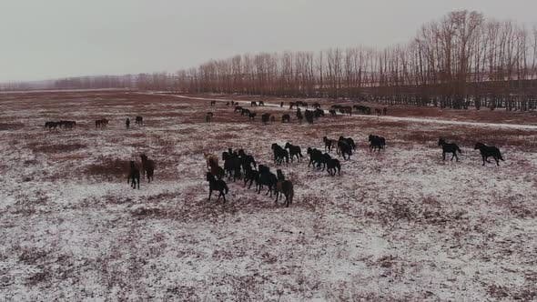 Thumbnail for Aerial View of Horses Running on the Field in Winter