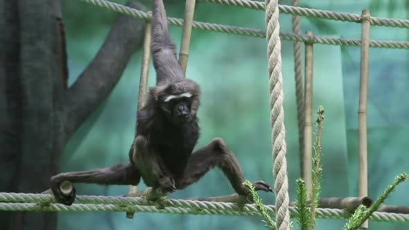 Thumbnail for Gibbon Monkey Resting on the Ropes.