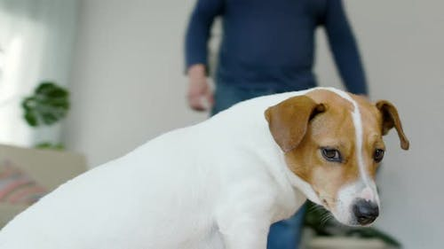 Dog Jack Russell Terrier Is In A Residential Home Around It Moves Camera