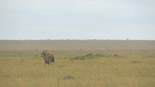 Common eland walking