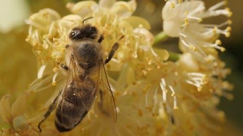 Biene Sammeln Pollen aus einer Blume des Baumes