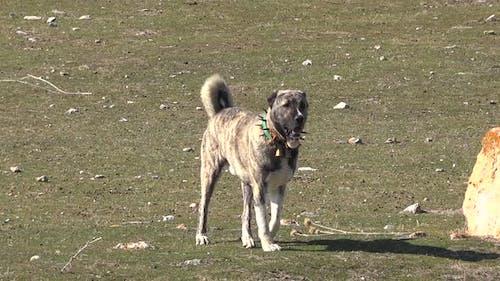 Shepherd Dog in Plateau