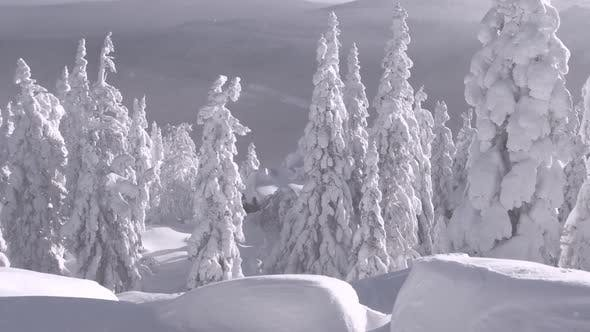 Snow Storm in Winter Forest on Mountainside, Snowdrift.