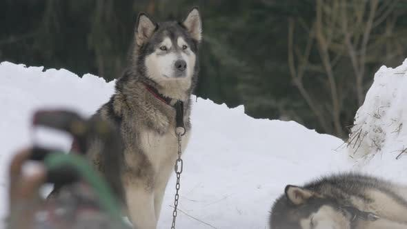 Husky dog sitting in snow