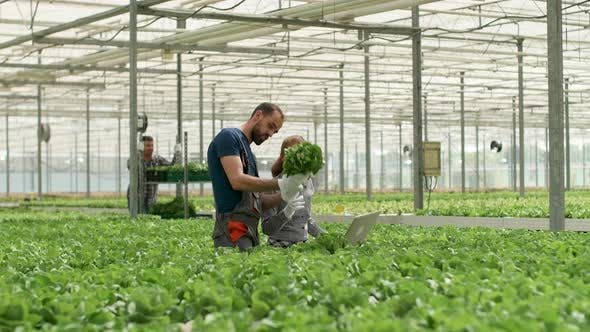 Thumbnail for Agronomist Engineer and Farm Woker Inspecting Green Salad