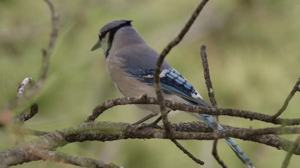 Thumbnail for Blluejay Adult Lone Perched Flying in Spring in South Dakota