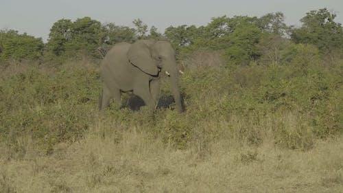 African Elephant Walking Through Bush