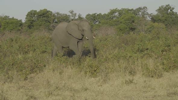 Thumbnail for African Elephant Walking Through Bush